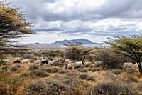 Domestic Cattle (Bos taurus) herd grazing, El Bart