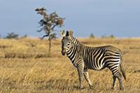 Grevy's Zebra (Equus grevyi) and Burchell's Zebra