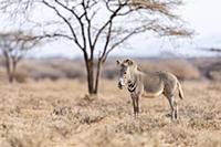 Grevy's Zebra (Equus grevyi) foal, Westgate Commun