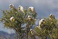 Little Corella (Cacatua sanguinea) flock feeding o