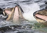 Humpback Whale (Megaptera novaeangliae) group coop