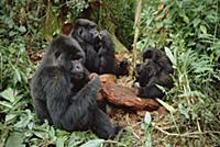 Mountain Gorilla (Gorilla gorilla beringei) group