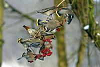 Bohemian Waxwing (Bombycilla garrulus) flock feedi