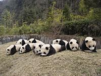 Giant Panda (Ailuropoda melanoleuca), nine captive