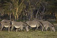 Grevy's Zebra (Equus grevyi) herd grazing on green