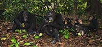 Eastern Chimpanzee (Pan troglodytes schweinfurthii