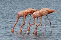 Greater Flamingo (Phoenicopterus ruber) group feed