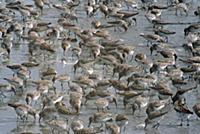 Western Sandpiper (Calidris mauri) migrate to bree