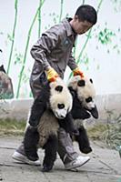 Большая панда. Детеныш возрастом 6-8 месяцев. Сычу