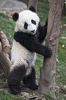 Большая панда. Детеныш возрастом 6-8 месяцев. Чэнд