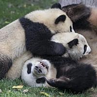 Большая панда. Самка и детеныши возрастом 6-8 меся