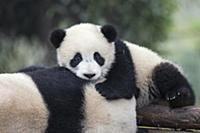 Большая панда. Самка и детеныш возрастом 6-8 месяц