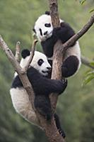 Большая панда. Детеныши возрастом 6-8 месяцев. Сыч