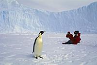 Императорский пингвин позирует для фотографа.
