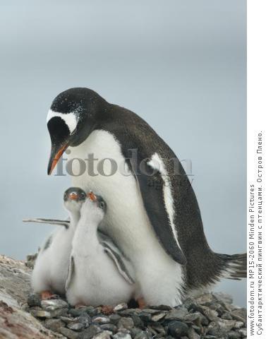 Субантарктический пингвин с птенцами. Остров Плено.