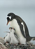 Субантарктический пингвин с птенцами. Остров Плено
