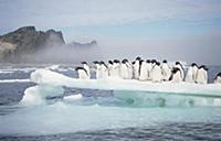 Стая пингвинов Адели. Остров Поссешен.