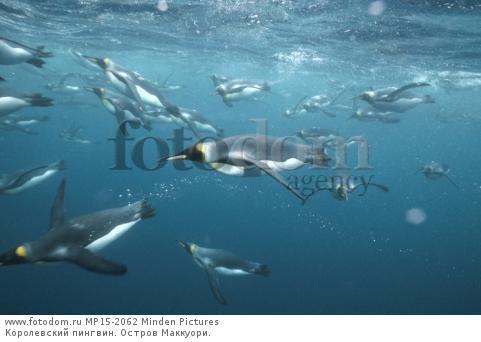 Королевский пингвин. Остров Маккуори.
