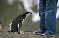 Антарктический пингвин изучает туриста. Южные Шетл