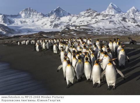Королевские пингвины. Южная Георгия.