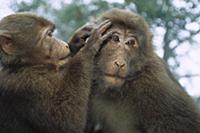 Tibetan Macaque (Macaca thibetana) one grooming an