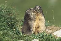 Alpine Marmot (Marmota marmota) adults allogroomin
