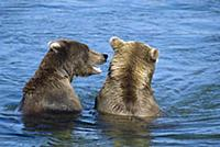 Grizzly Bear (Ursus arctos horribilis) pair of you