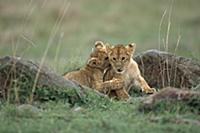 African Lion (Panthera leo) pair of three month ol