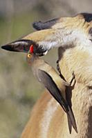 Red-billed Oxpecker (Buphagus erythrorhynchus) on