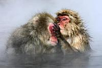 Japanese Macaque (Macaca fuscata) pair grooming in