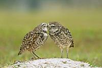 Burrowing Owl (Athene cunicularia) pair preening e