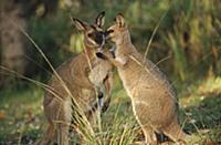 Whiptail Wallaby (Macropus parryi) affectionate pa