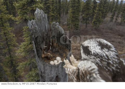 Northern Hawk Owl (Surnia ulula) landing at nest with eggs in taiga, Alaska