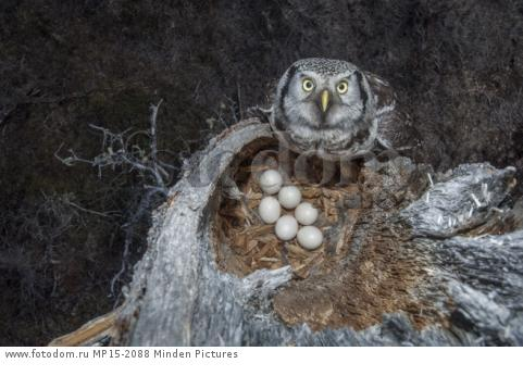 Northern Hawk Owl (Surnia ulula) at nest with eggs, Alaska