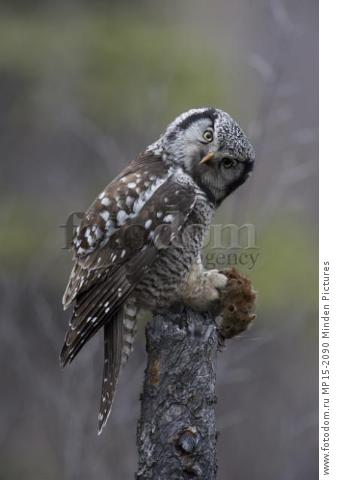 Northern Hawk Owl (Surnia ulula) with Northern Red-backed Vole (Clethrionomys rutilus) prey, Alaska