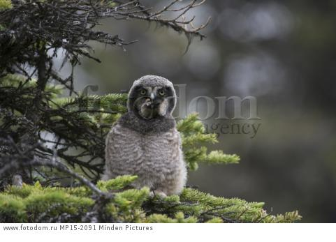 Northern Hawk Owl (Surnia ulula) fledgling swallowing Northern Red-backed Vole (Clethrionomys rutilus) prey, Alaska, sequence 5 of 5