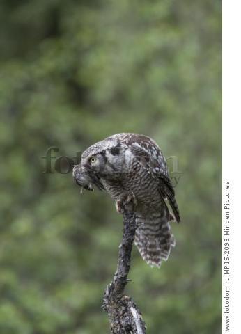 Northern Hawk Owl (Surnia ulula) with Common Redpoll (Carduelis flammea) prey, Alaska