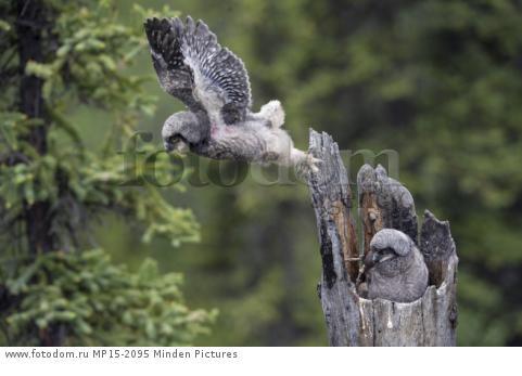 Northern Hawk Owl (Surnia ulula) fledgling taking first flight, Alaska