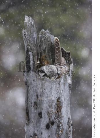 Northern Hawk Owl (Surnia ulula) on nest during snowfall, Alaska