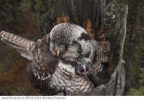 Northern Hawk Owl (Surnia ulula) brooding chick on nest, Alaska