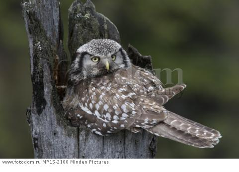 Northern Hawk Owl (Surnia ulula) on nest, Alaska