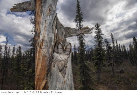Northern Hawk Owl (Surnia ulula) in nest in taiga, Alaska