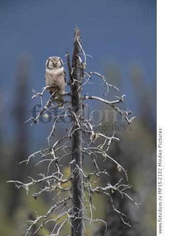 Northern Hawk Owl (Surnia ulula) perched on snag, Alaska