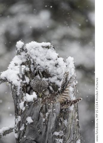 Northern Hawk Owl (Surnia ulula) on nest during snowfall, Alaska