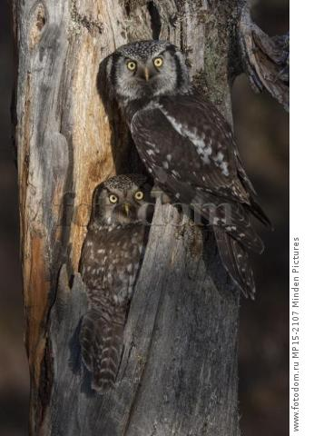 Northern Hawk Owl (Surnia ulula) pair at nest, Alaska