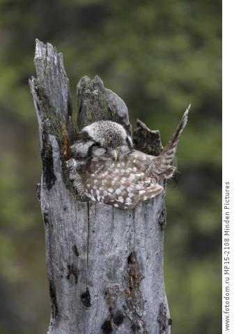 Northern Hawk Owl (Surnia ulula) sleeping on nest, Alaska