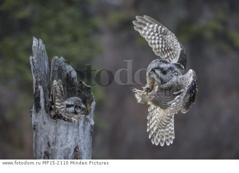 Northern Hawk Owl (Surnia ulula) male bringing Northern Red-backed Vole (Clethrionomys rutilus) prey to incubating female, Alaska