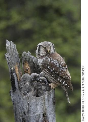 Northern Hawk Owl (Surnia ulula) parent with chicks at nest, Alaska