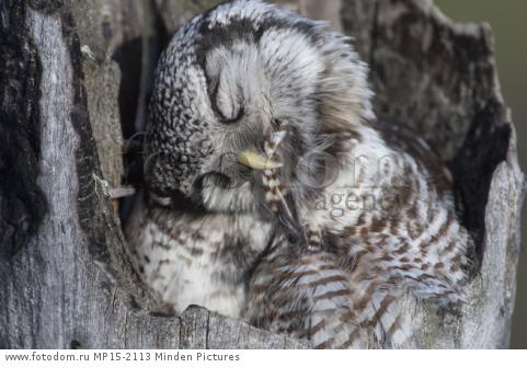 Northern Hawk Owl (Surnia ulula) preening in nest, Alaska