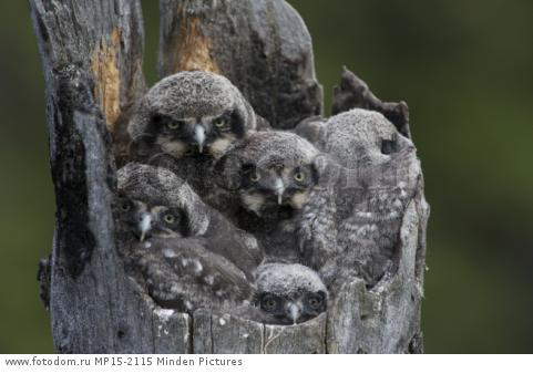 Northern Hawk Owl (Surnia ulula) chicks in nest, Alaska
